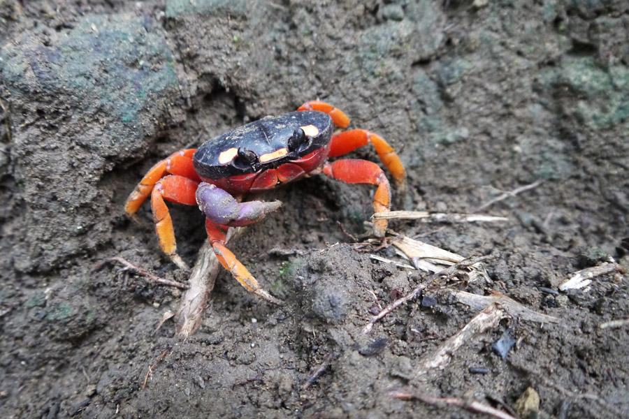montezuma crab