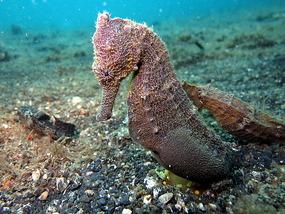 Lembeh Sea horse