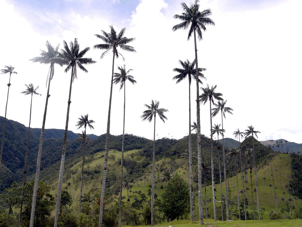 The amazing wax palms of Valle de Cocora is one of the 'must see sights' around Salento! Backpacking Colombia
