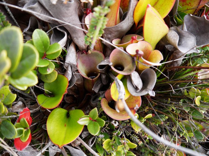 The carnivorous Pitcher Plant Helamphora nutans