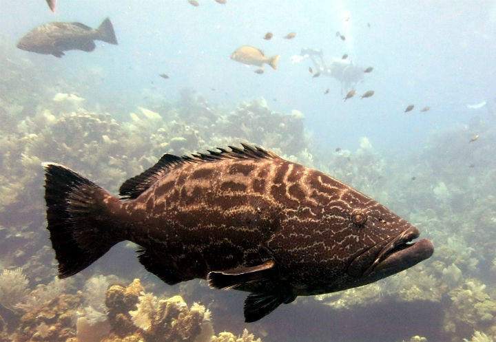 There were some big groupers swimming around the wreck of The El Aguila! diving ROATAN
