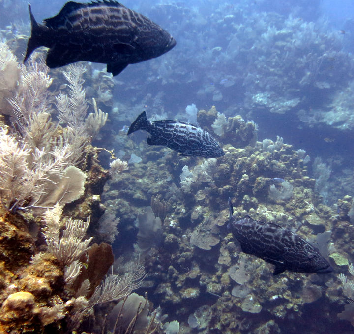 Some big groupers on the reef close to the wreck of the El Aguila. diving Roatan