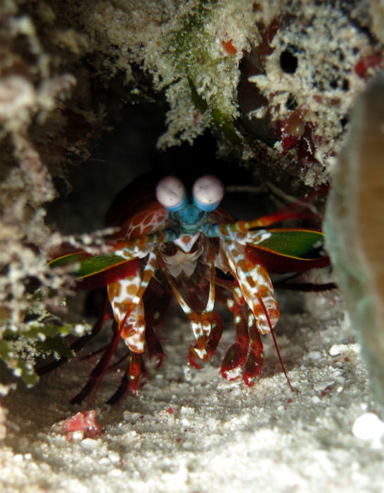 We saw two Mantis shrimps, I love these guys, pound for pound the strongest animal around, for me the highlight of the day! Diving Bira