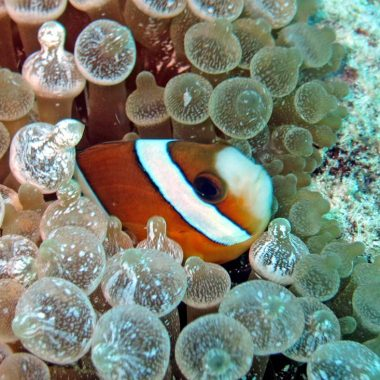 clown fish diving Bira
