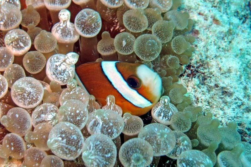 clown fish diving Bira