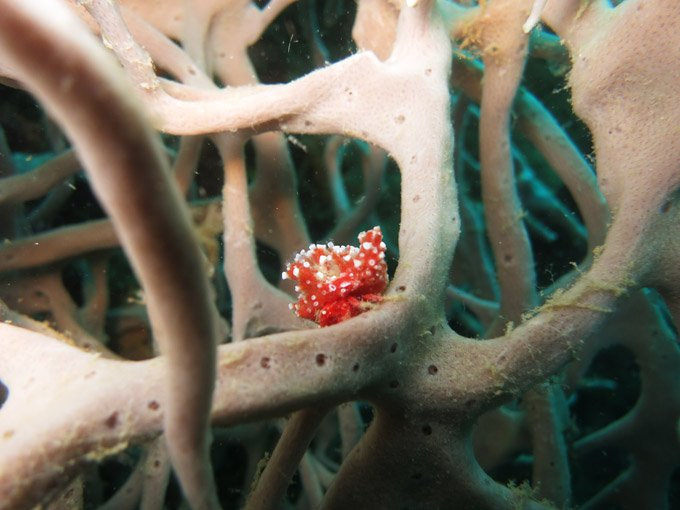 Interesting sea slug on coral growing in the destruction of the B42 bomber.