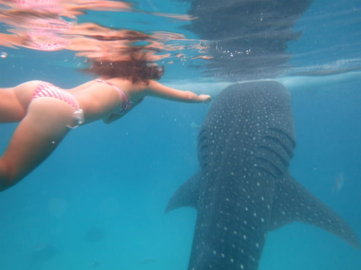 swim with whale sharks in the philippines awesome travel blog