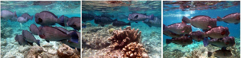 A herd of bumphead parrot fish grazing around turtle patch.