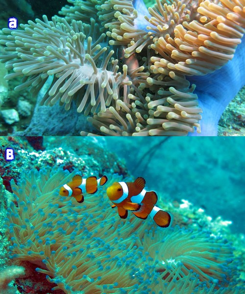 a. False clown fish b. Clark's clown fish around Tanjung Betong