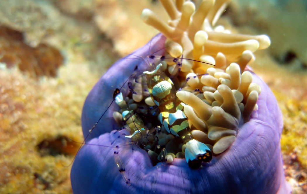 Diving Perhentian Ghost Shrimp on an anemone at T3.