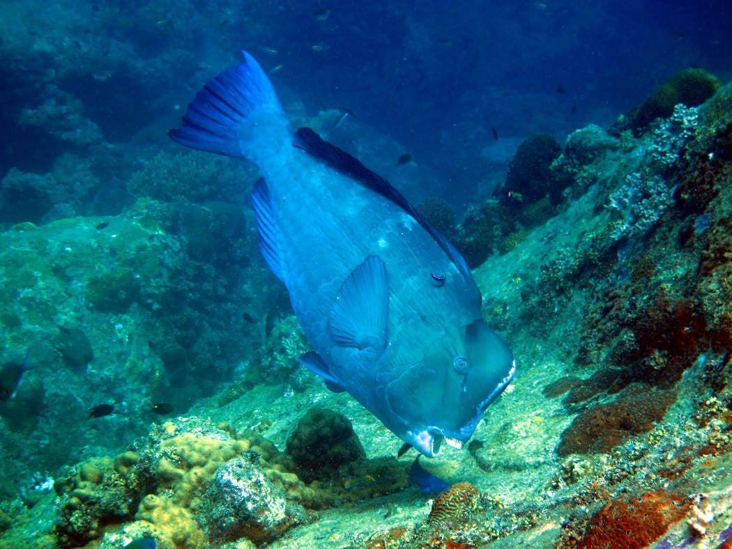 A single Bumphead Parrot fish at Tanjung Butong.