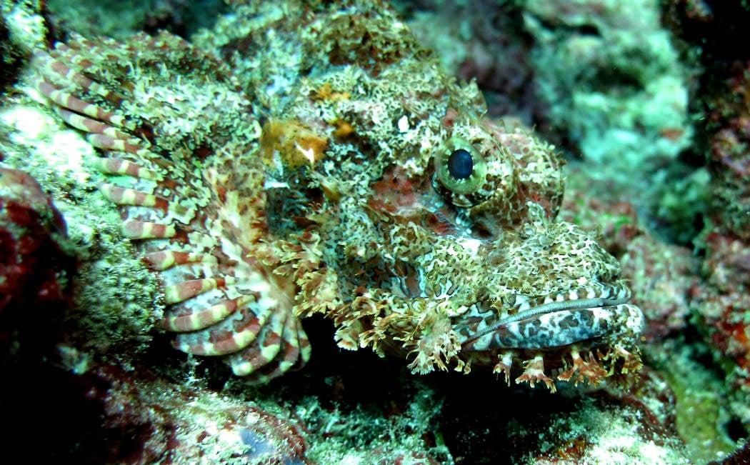 dive pulau weh scorpionfish