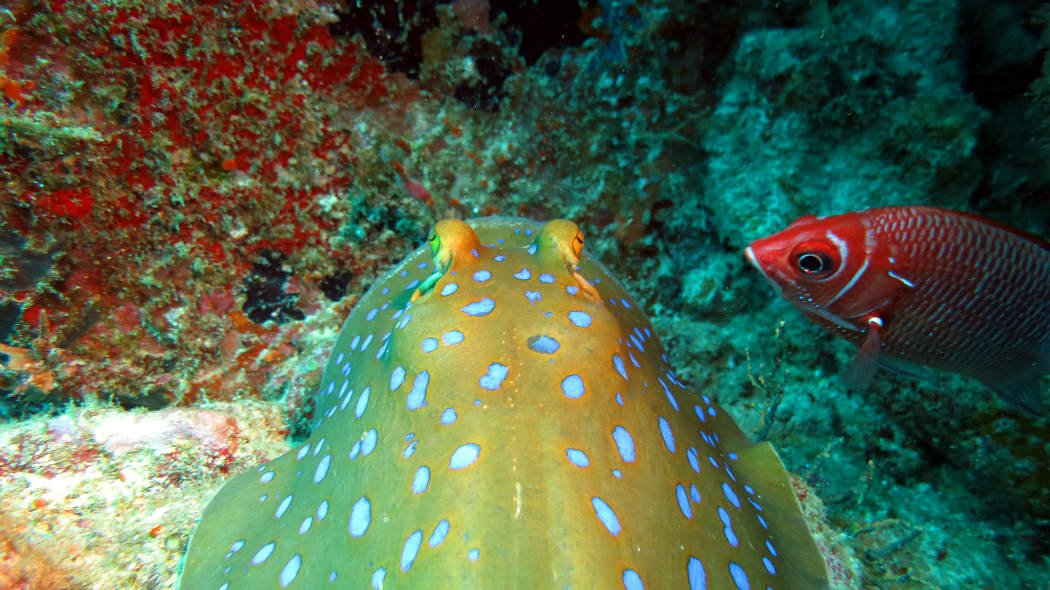 Diving Pulao Weh, a Blue spotted stingray with a friend at Arus Balee.