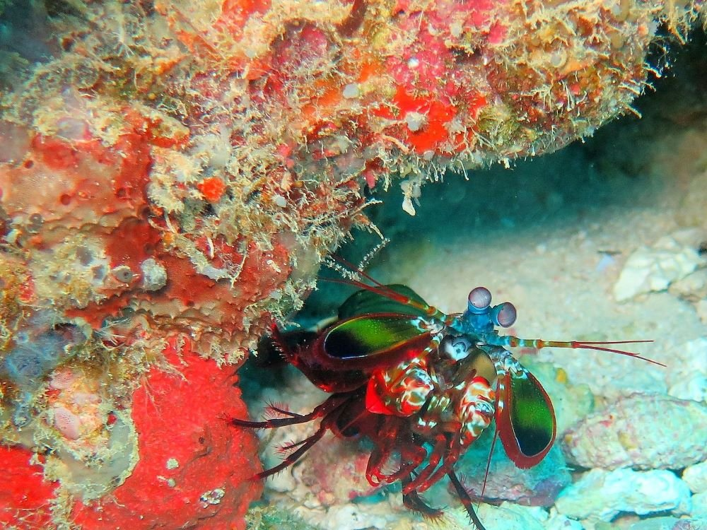 mantis shrimp indonesia
