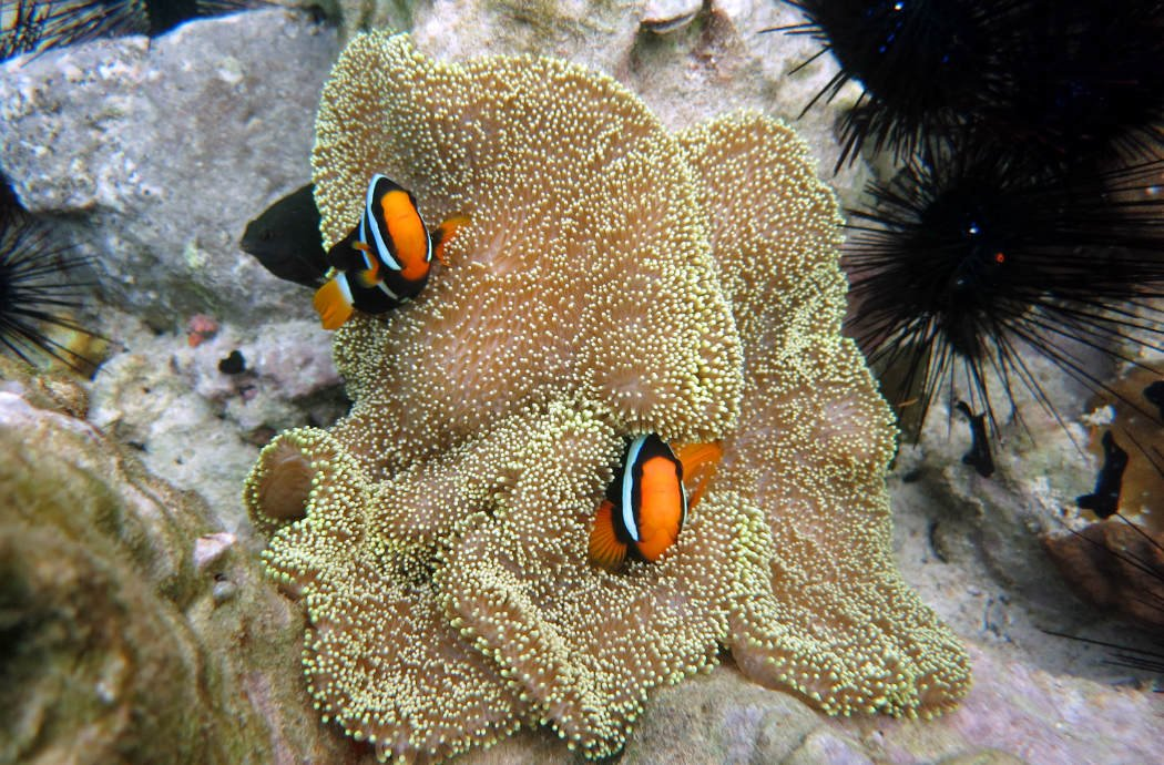 Clown fish, snorkeling from Rubiah beach, Pulau Weh