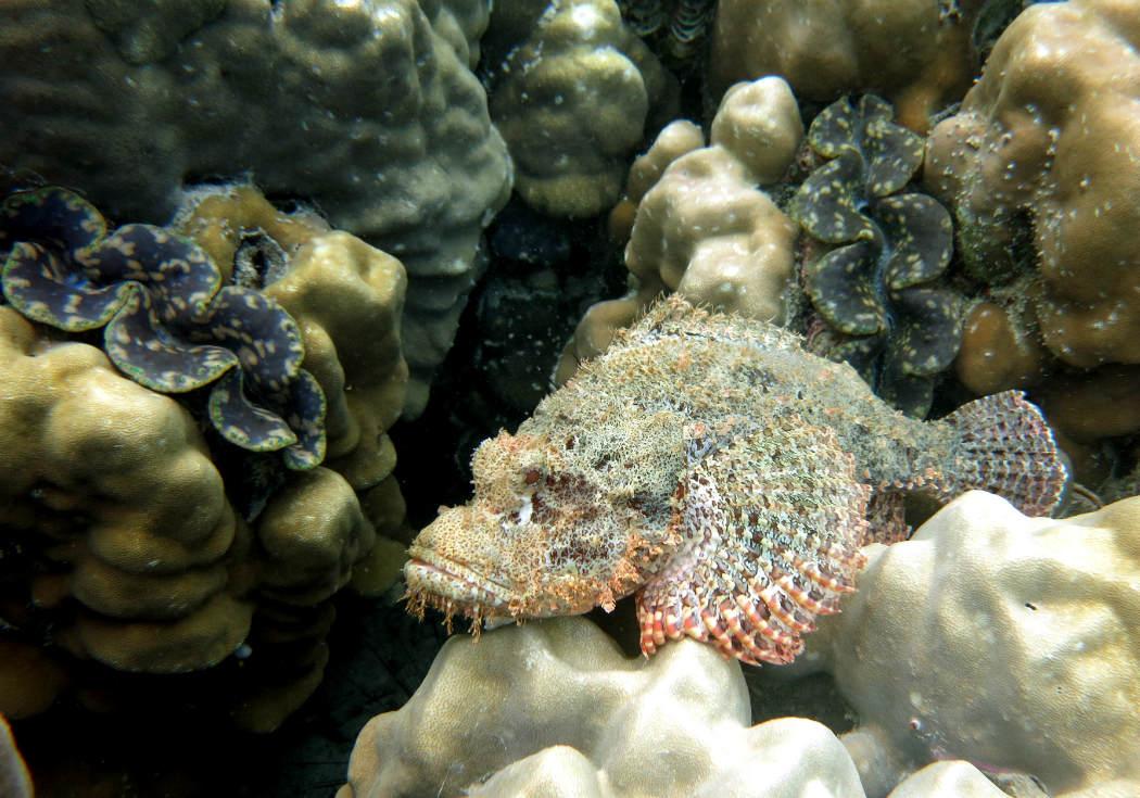 Scorpion fish, snorkeling from Rubiah beach