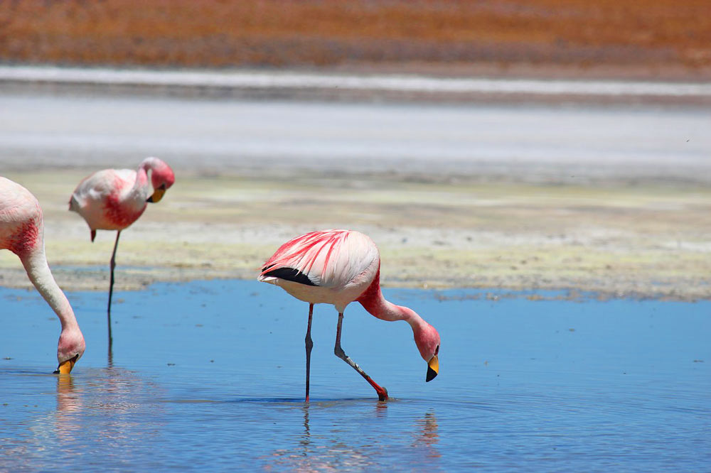 Three pink flamingos in the Laguna Chaxa, Atacama desert, Chile