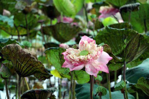Many water lilies in Kwai river, Kanchanaburi