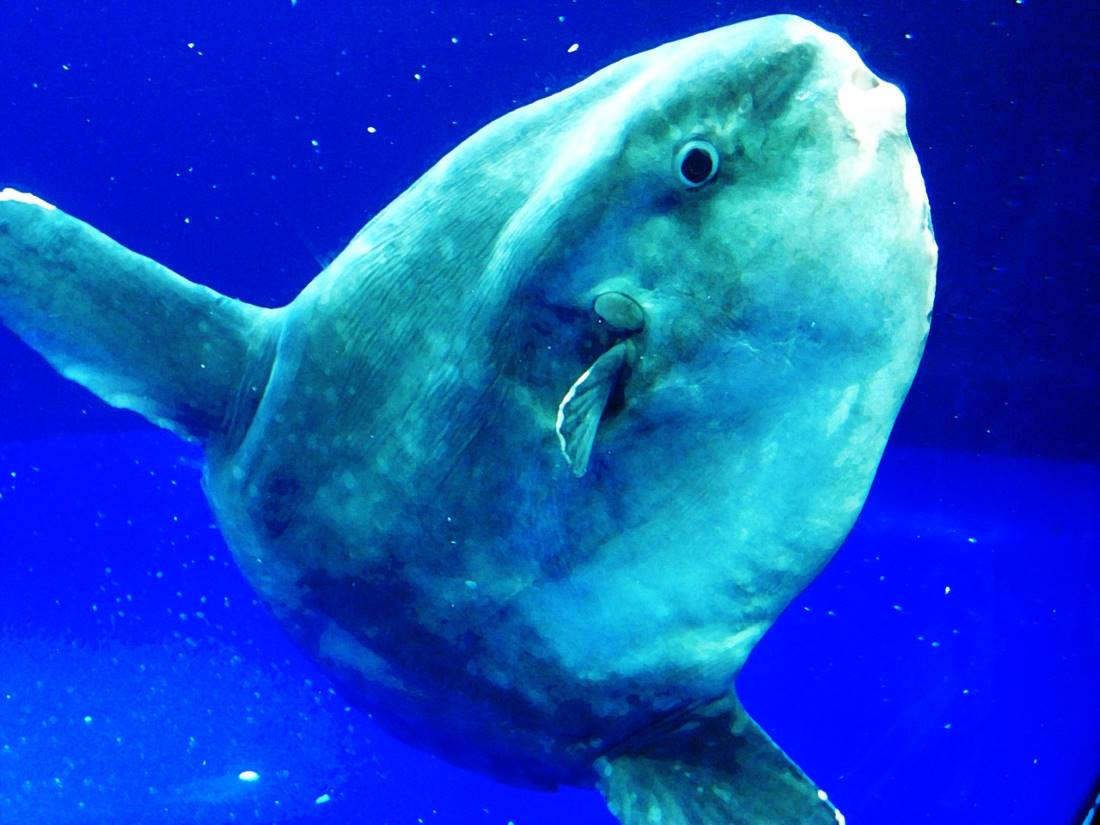 Mola mola, the oceanic sunfish