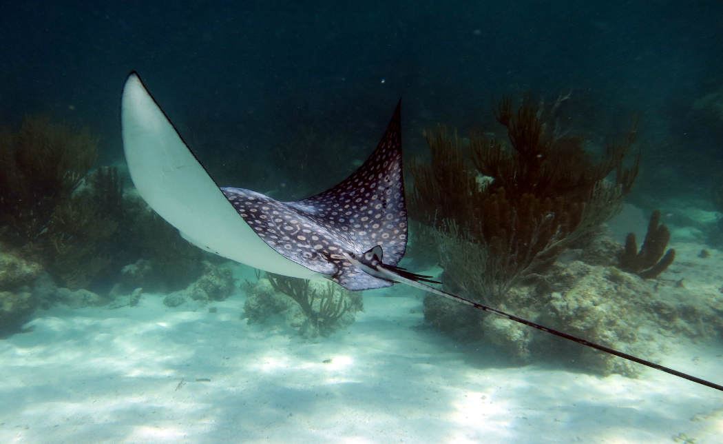 Dive Xcalak An eagle ray gliding past