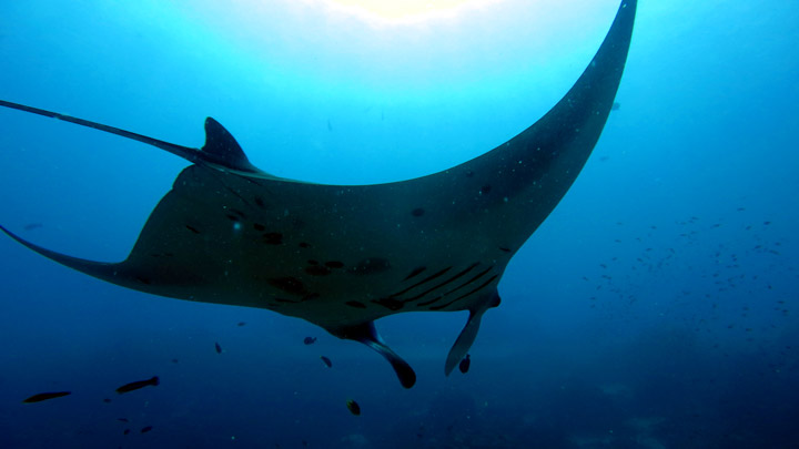 Dive Nusa Penida. We saw plenty of mantas at Manta Point. Apparently you have a 99% chance of seeing Mantas diving here.