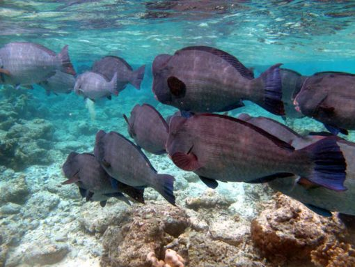 Diving Sipadan. A School of massive bumphead parrot fish grazing on top of the reef.