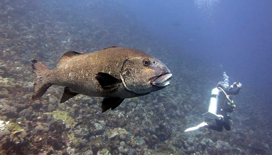 Big wrasse, Batu Bolong
