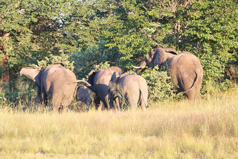 Elephants in the bush next to the road in Caprivi, Namibia