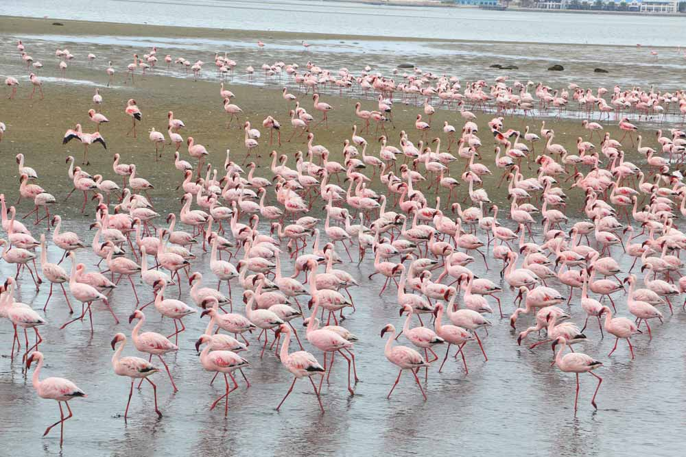 Pink flamingos in Walvis Bay, Namibia