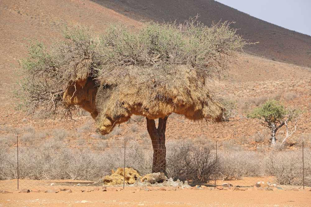 Sociable weavers' nest in the tree