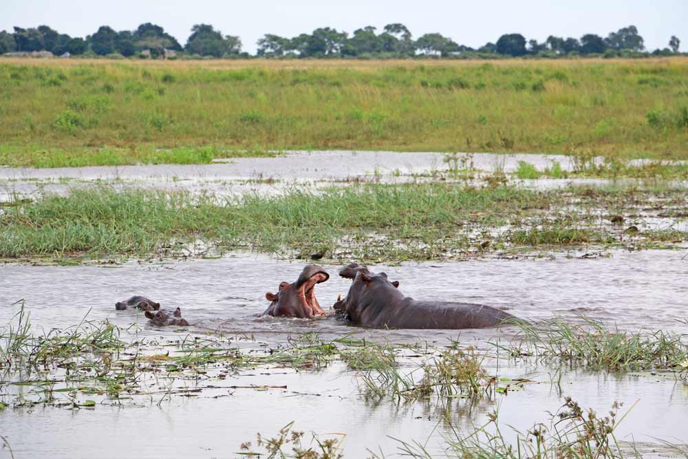 Two big hippos fighting for females in Chobe National Park