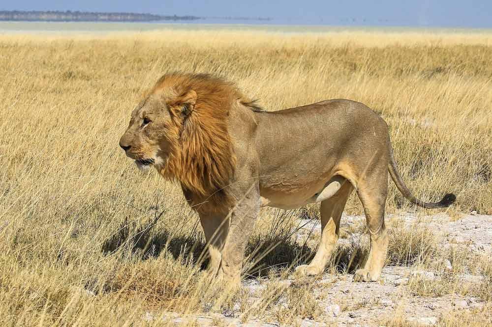 A lion in Etosha, Namibia
