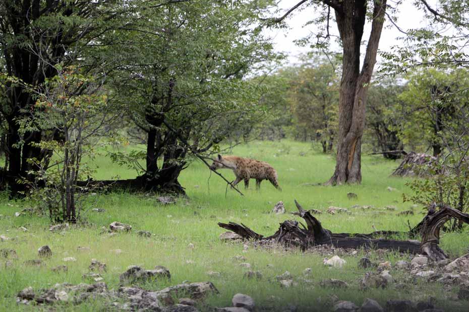 Hyena in Etosha park