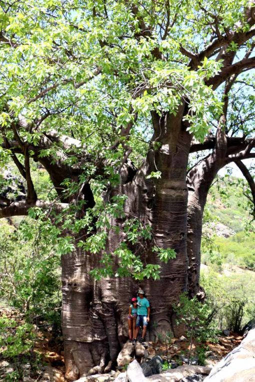 A giant baobab tree (23m diameter) at Ovahimba living museum. Road trip Namibia