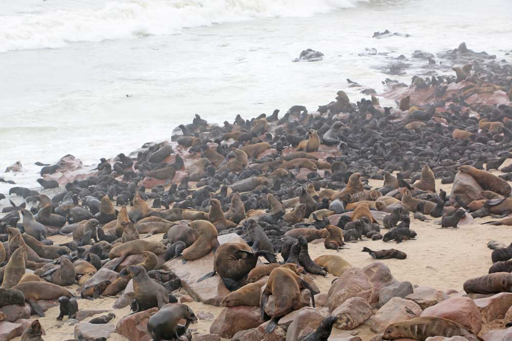 Seals with their babies at Cape Cross in Namibia