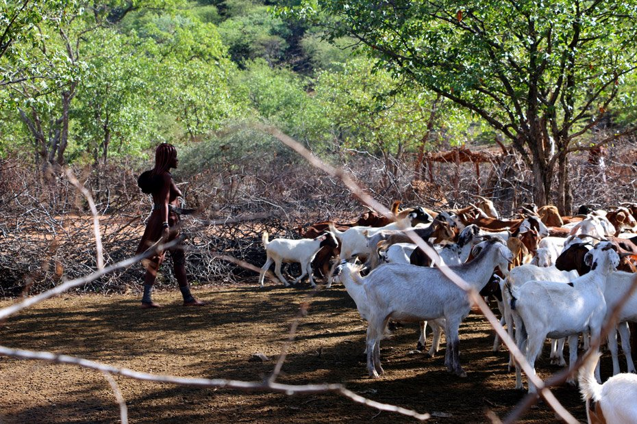 Goats and sheep are the main livestock and source of food for Himba