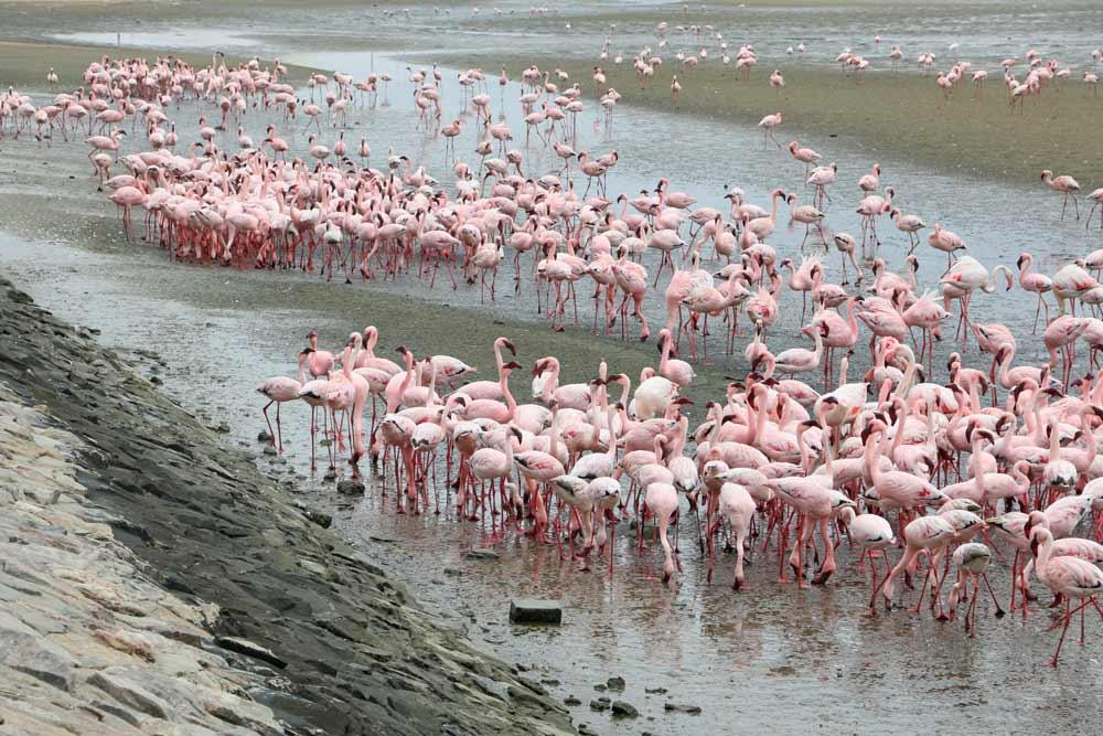 Flamingo colony in Walvis Bay, Namibia