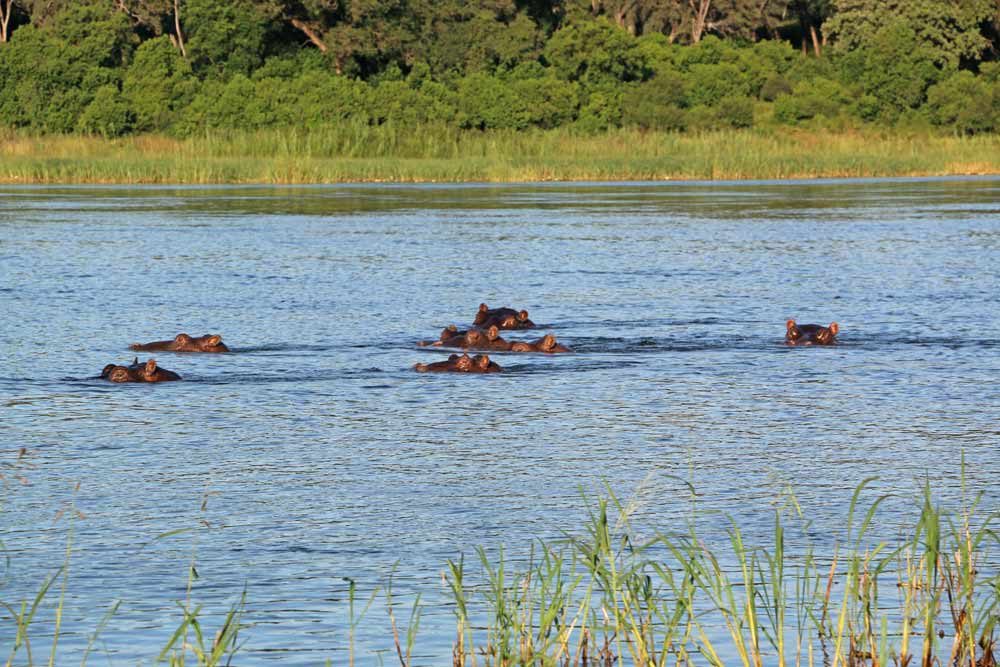 Hippos in the water at Ngepi campsite in Namibia