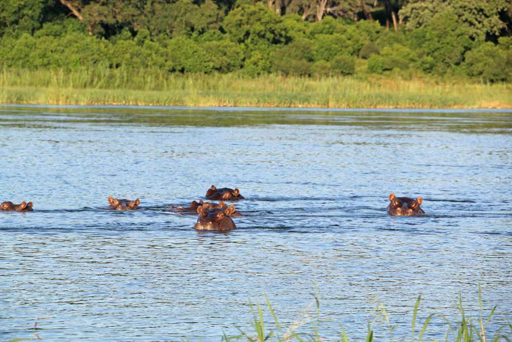 Hippos in the water in the Caprivi Strip, a great area to visit in Namibia