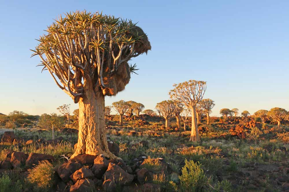 Quiver Tree Forest at sunset in Namibia