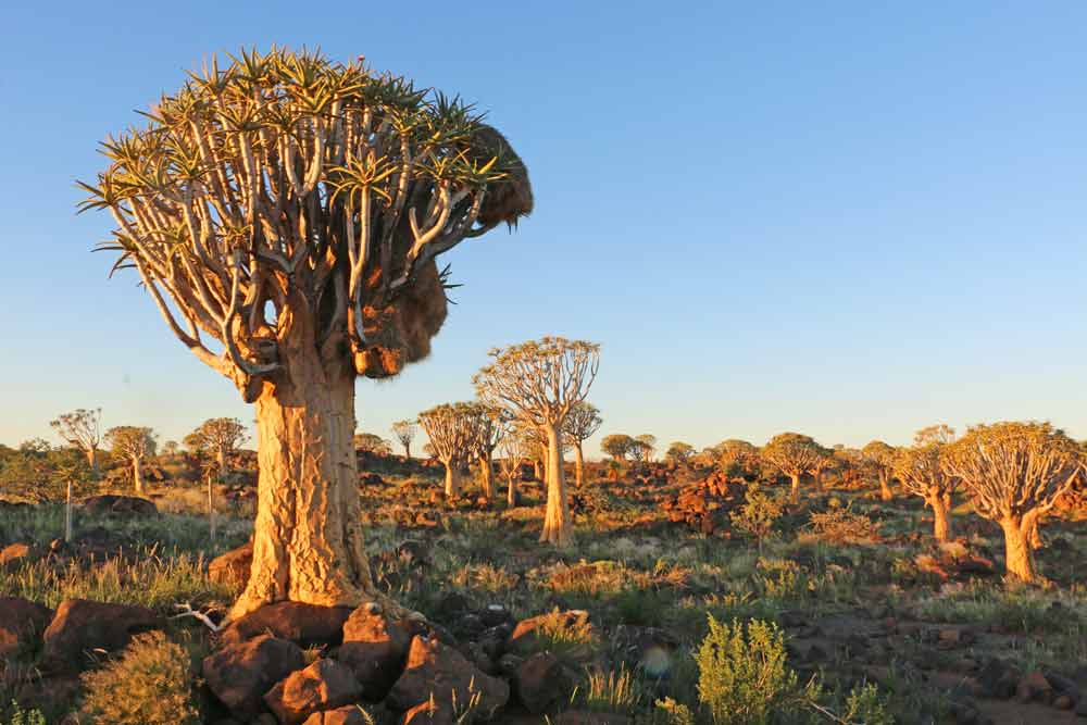 Quiver trees at the campsite in Namibia