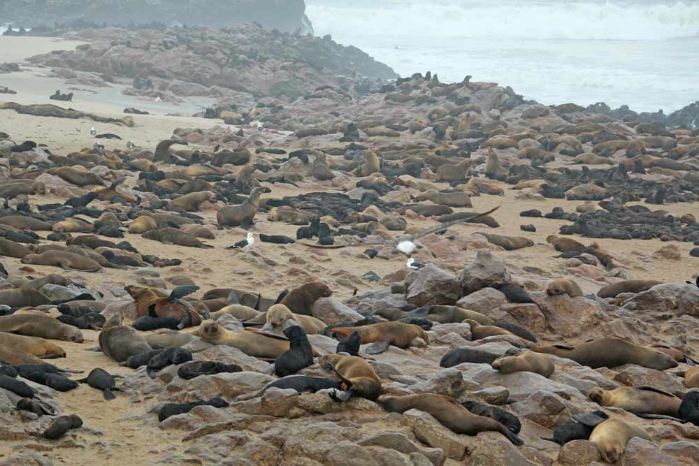 Many seals on the shore at Cape Cross, Namibia