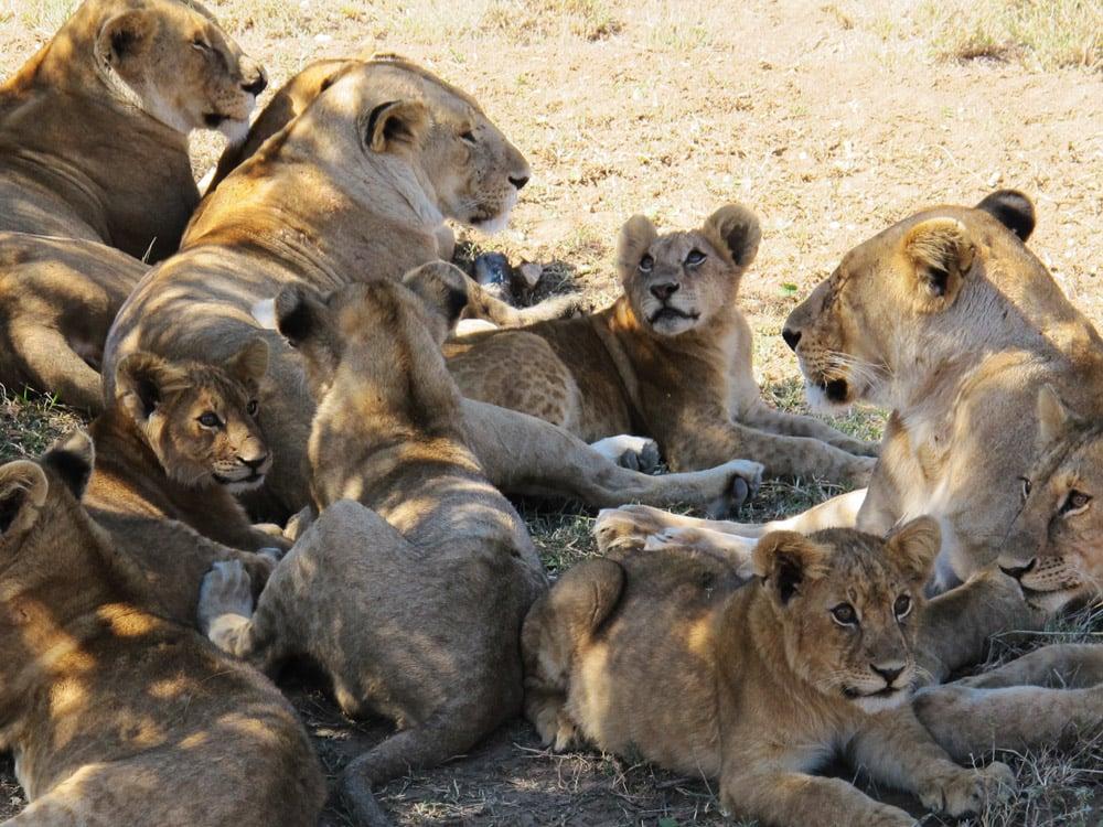 lions Serengeti Tanzania