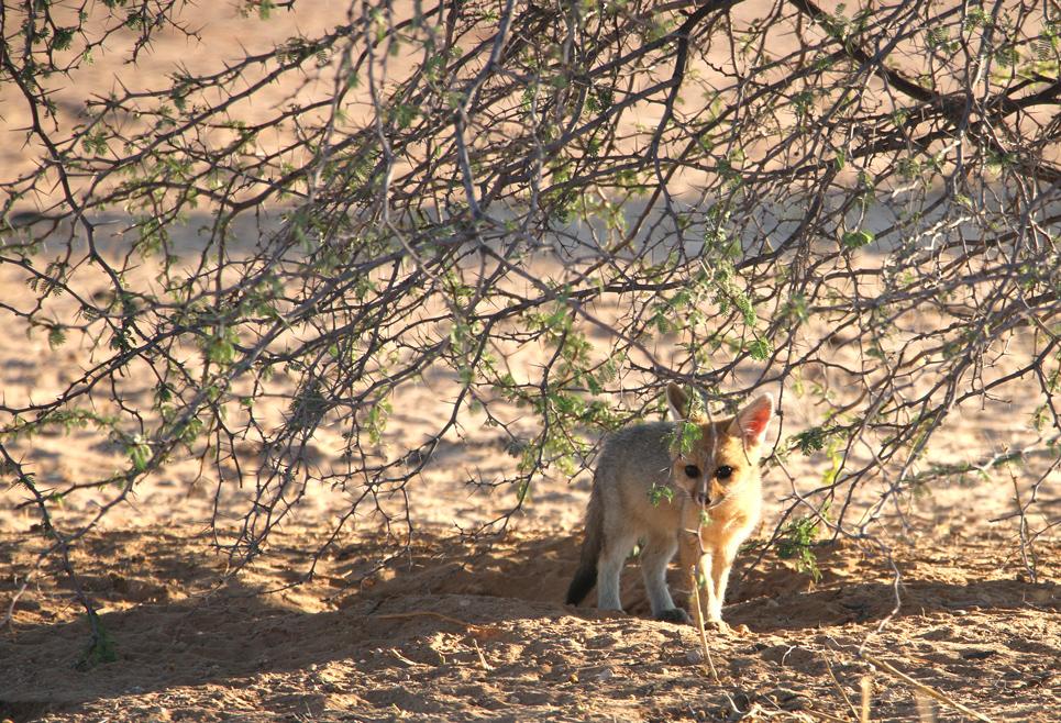 Cape fox cub, Kgalagadi Transfrontier park