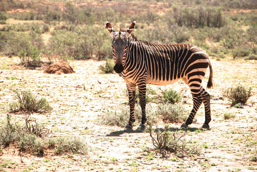 Mountain zebra, Karoo National park