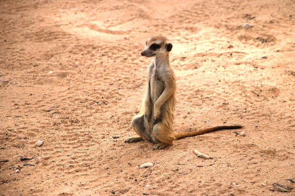 Meerkat at Mata Mata campsite, Kgalagadi Transfrontier park, South Africa