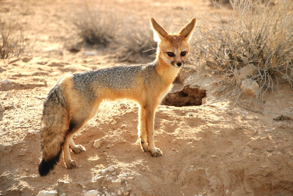 Cape fox, Kgalagadi Transfrontier park, South Africa