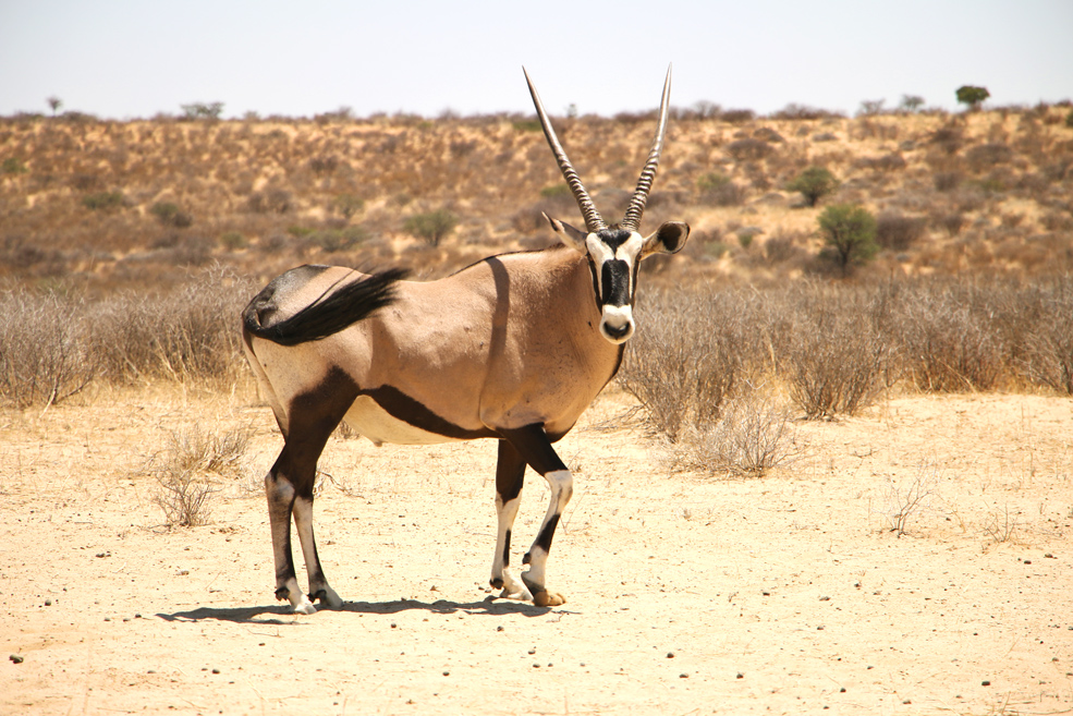 Gemsbok posing for photos, Kgalagadi National park