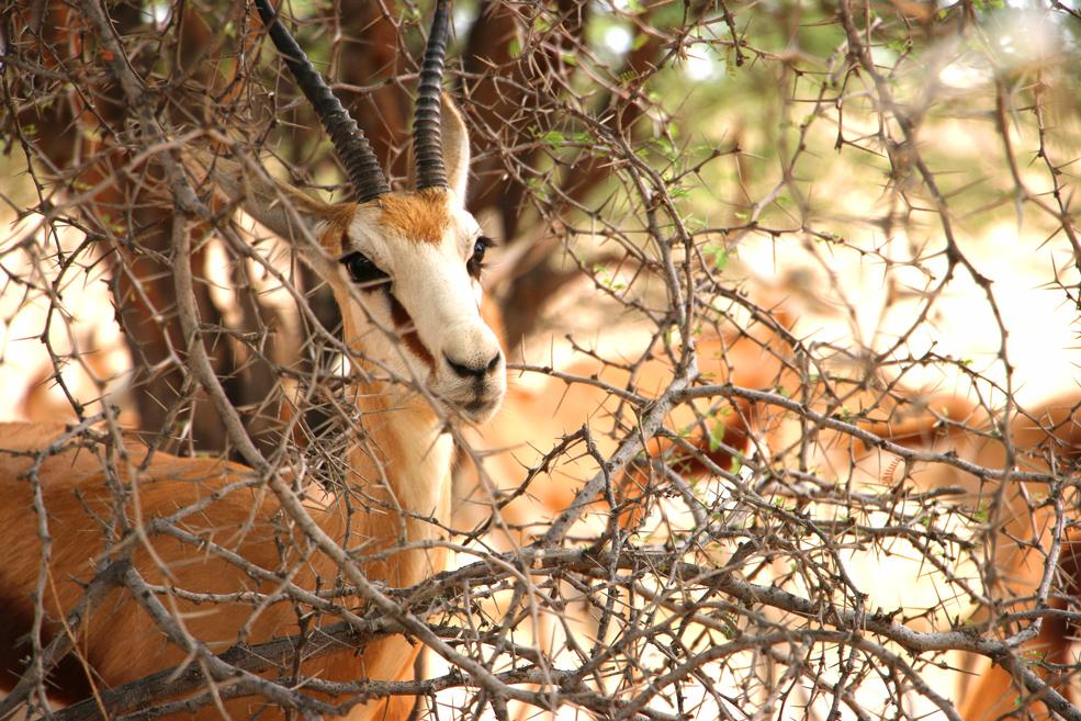 Springbok, Kgalagadi Transfrontier park, South Africa