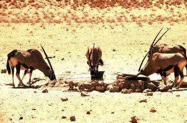 Gemsbok at a waterhole close to Mata Mata.